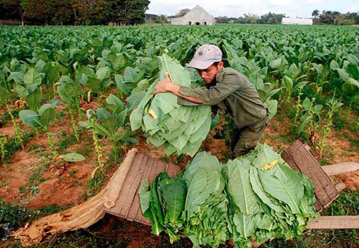 2 nuevas variedades de tabaco Virginia en Cuba